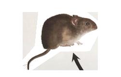 rata adulto
