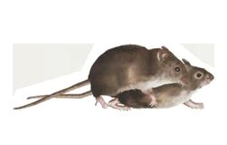 rata apareamiento