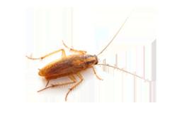 cucaracha alemana blatella germanica