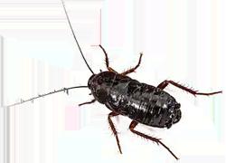 cucaracha orientalis blatta orientalis