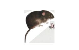 rata joven