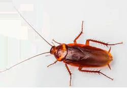 cucaracha americana periplaneta americana